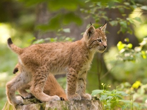 lynx chat sauvage macedoine